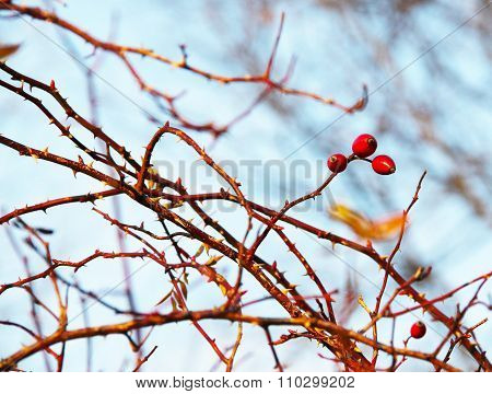 rosehips on the thorny twigs