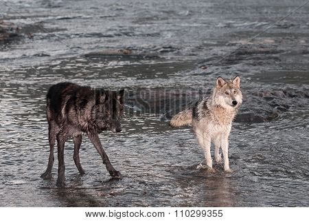 Grey Wolves (canis Lupus) Stand In River