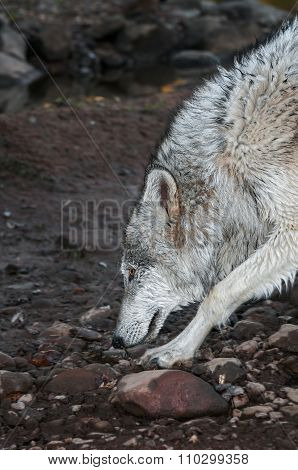 Grey Wolf (canis Lupus) Splashes On Riverbank