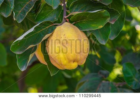 Yellow ripe quince.