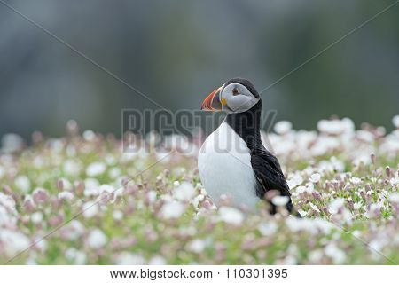 Atlantic Puffin (Alca Arctica)