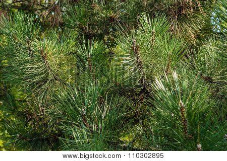 Green needles on pine tree.