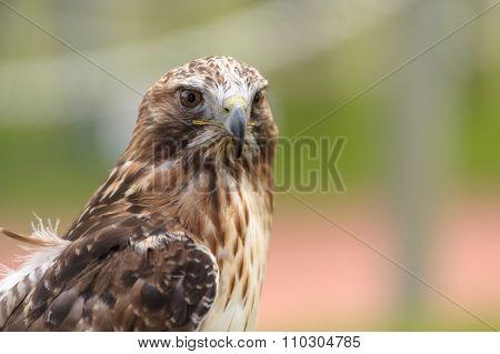 Rough-legged Hawk Closeup
