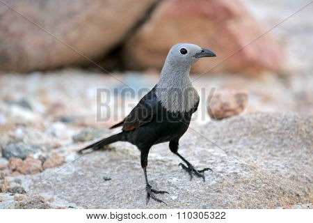 Socotra starling (Onychognathus frater)