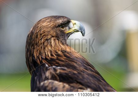 Golden Eagle Profile View  In Side Angle View