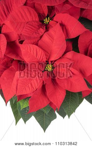 Pot of Bright Red Poinsettia