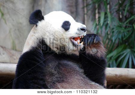 Chiang Mai, Thailand - January, 2015: Panda Bear, Chiang Mai Zoo