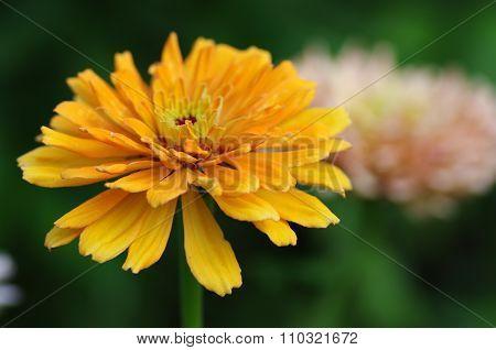 Bright Flower Zinnias