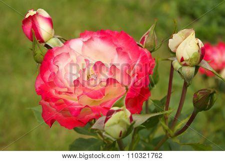 Rose: 'jubile Du Prince De Monaco'