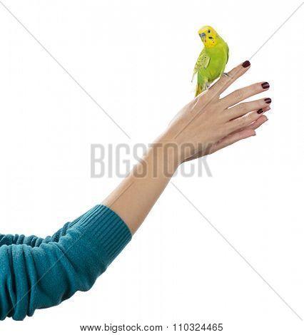Budgerigar bird on hand isolated on white background.