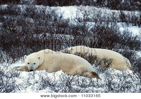 Rest Of Polar Bears.
