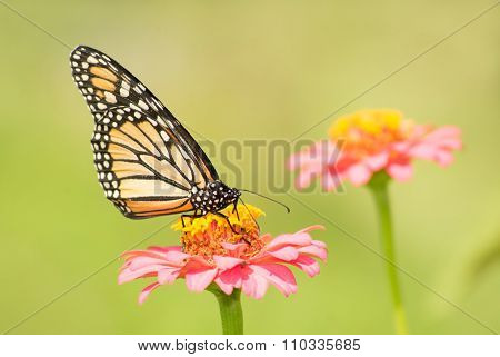 Monarch butterfly on light pink Zinnia flower in sunny summer garden