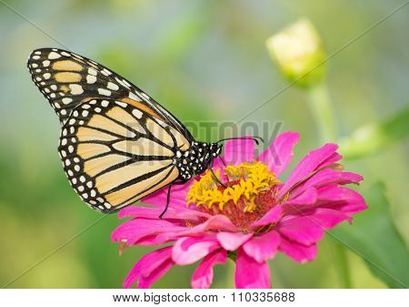 Monarch butterfly on a deep pink Zinnia