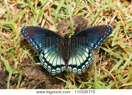 Dorsal view of Red-spotted Purple Admiral butterfly