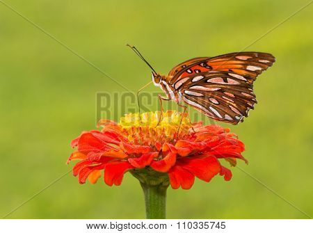 Gulf Fritillary butterfly on a deep orange Zinnia flower against summer green background