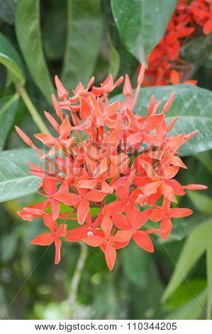 red Ixora coccinea flower