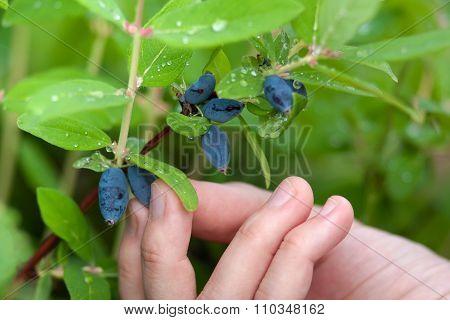 Hand Picking Berries Honeysuckle