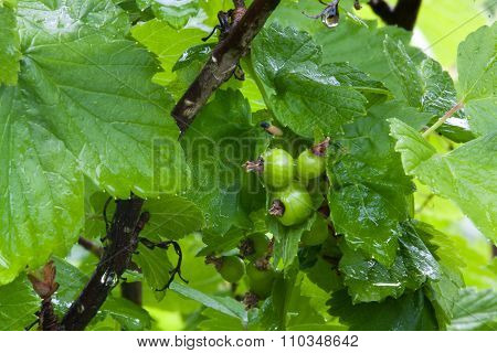 Branch Of Black Currant With Green Unripe Berries
