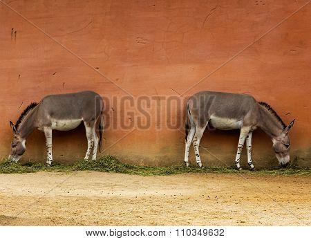Two Somali Wild Donkeys Near The Wall In Zoo
