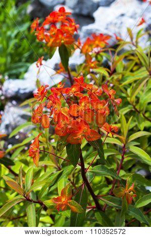 Griffith's spurge (Euphorbia griffithii ,,Fireglow,,)