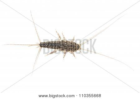 Silverfish, Lepisma Saccharina, Isolated On White Background