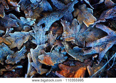 Abstract natural background with frosted oaks leafage