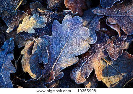 nice oak's leafage closeup photo