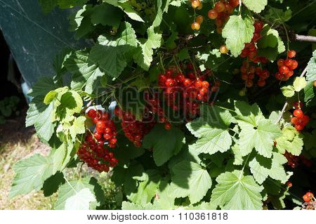 Red Currant Fruits