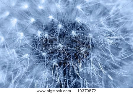 Fluffy dandelion, close-up