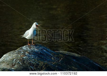 Seagull With Open Beak