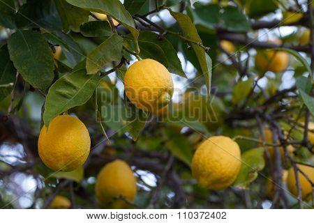 Lemon branch.