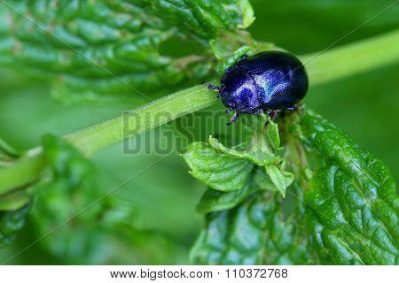 A metallic blue Mint Beetle (Chrysolina coerulans) on spearmint leaves in the garden