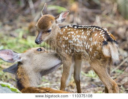Fawn and mom deer, focus on baby eye
