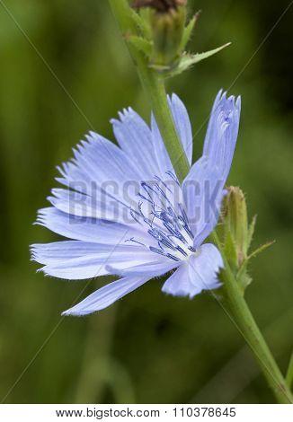 Cichorium intybus - common chicory flower