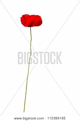 Red poppy flower papaver