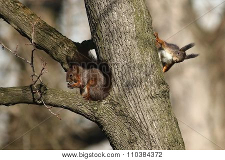 Two red squirrel
