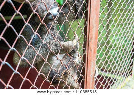 Three Toed Sloth In A Cage