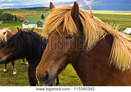 Icelandic horse on a meadow near Skaga fjord at sunny summer day