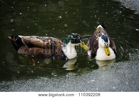 Two Ducks Swimming on a Frozen Pond