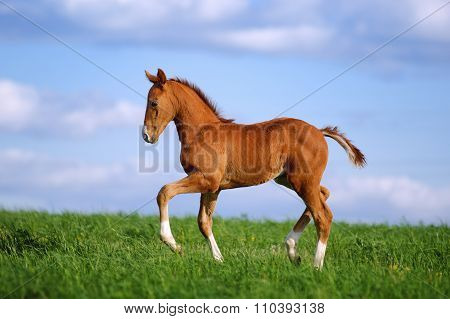 Beautiful red foal in the sports field on a background of blue sky. Horse rides in the grass