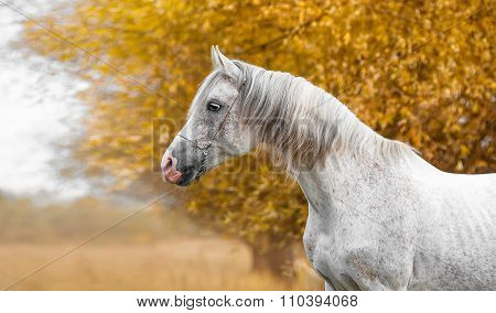 Beautiful Arabian horse on a background of golden trees. Portrait of a white horse in autumn