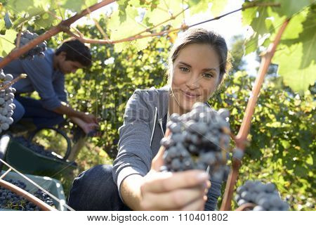 Young woman cutting bunch of grape in vineyard