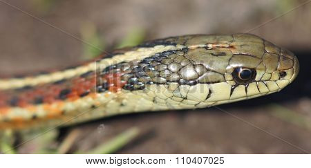 Coast Gartersnake (Thamnophis elegans terrestris) close-up