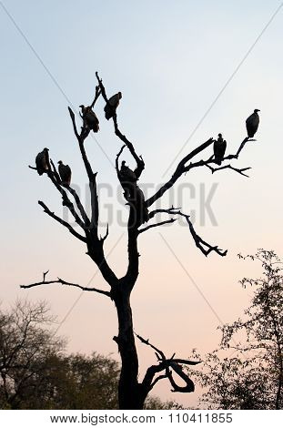 Silhouette of White Backed Vultures Perched in a Tree