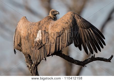 White backed Vulture spreading its wings