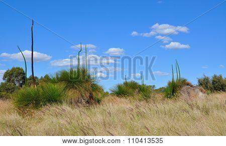 Yakka Trees in Australian Bushland