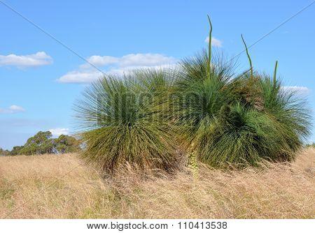 Grass Trees: Australian Bushland