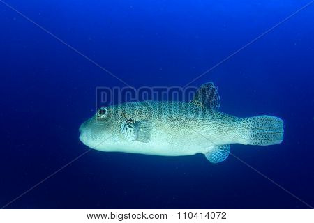 Giant Puffer fish pufferfish blowfish