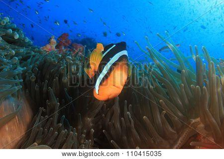 Clarke's Anemonefish (Clownfish nemo fish)