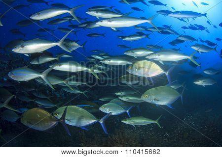 Mass swarm of predator fish hunting: Emperors. Tuna, Trevallies, Snappers, Rainbow Runners,